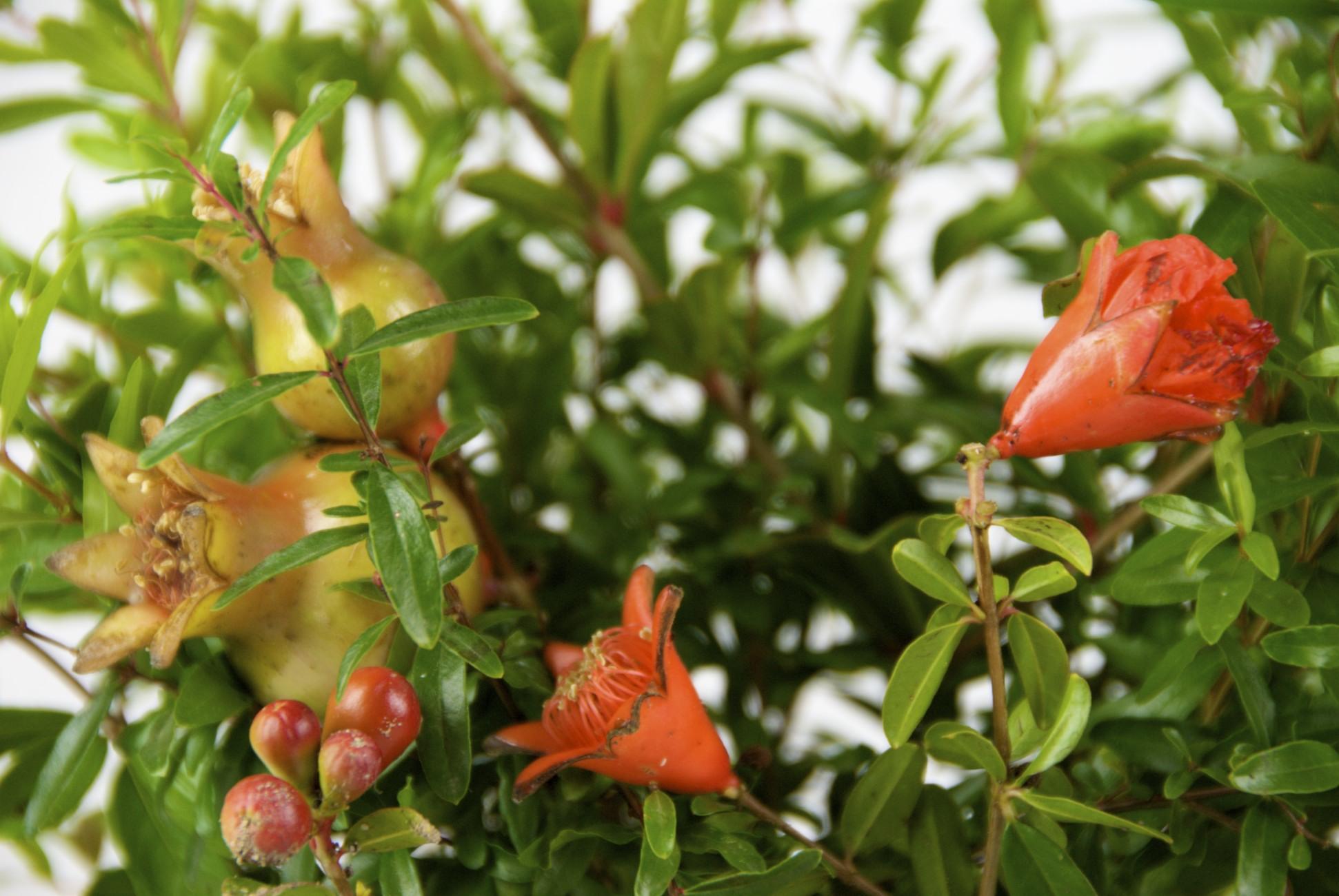 Vivaio Rosso Melograno : Melograno punica granatum coltivazione e potatura
